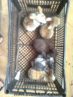 5 adet saf kan hollanda lop tavşanı yavrusu