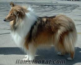 Collie (Lassie) yavru arıyorum