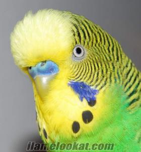 Mersin Tarsus muhabbet kuşu