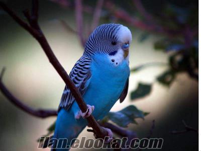 muhabbet kuşu , kafesi , yemi set haline uygun