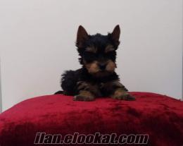 show kalitesinde satılık sıfır numara yorkshire terrier yavrular