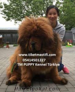 satılık tibet mastif yavruları çin secereli