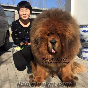 tibet mastif çin secereli satılık yavrular