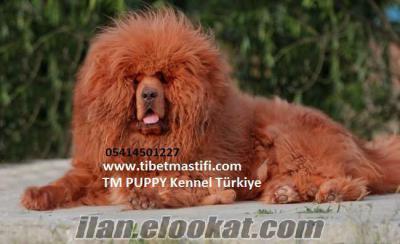 satılık tibet mastifi yavruları çin secereli