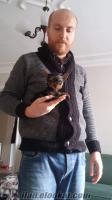 show kalitesinde satılık tea cup yorkshire terrier yavruları