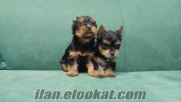 mükemmel show kalitesinde yorkshire terrier yavruları