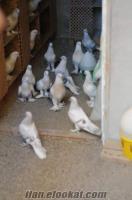 Balıkesir Altınolukda satılık güvercinler