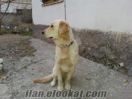 orjinal dişi golden köpek