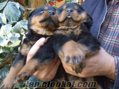 satilik rottweiler yavrulari