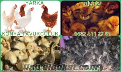 Civciv Yarka Pekin Ördeği Hindi Palazı Türkiyenin Heryerine Ücretsiz Kargo