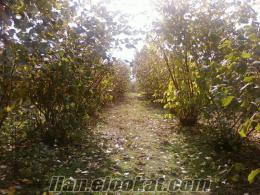 Kazimiye köyünde satılık fındık bahçesi