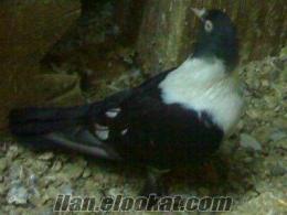 izmir bayraklıdan satılık güvercin