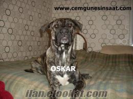 bekçi italyan can corso dog için acillen bahçesi veya büyük arazisi olan ve baka