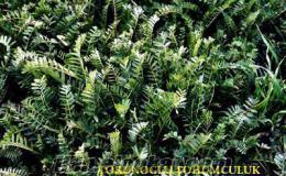 korunga tohumu satısı, korunga tohumu fiyatları, korunga tohumu nasıl ekilir