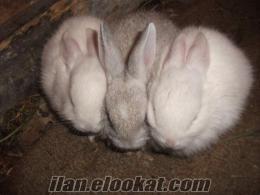 Samsunda satılık tavşan