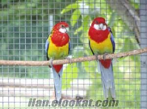 Rozella Sultan Cennet Papağanı