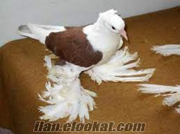 satılık hertür güvercin bulunur