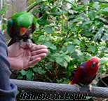 Papağanlar ve taze papağan yumurta için satış.