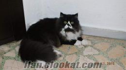 iran kedisi 8 aylık erkek ücretsiz