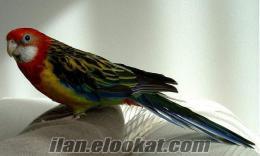ankarada sahibinden satılık rozella papağan