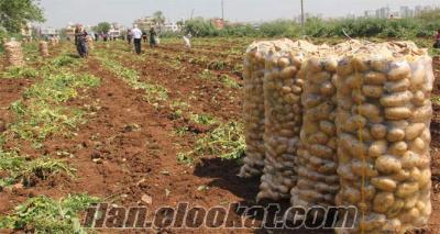 sivas kangalda yemeklik melodı patates 40 ton 20 ton megusta
