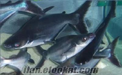 çelincır köpek balığı