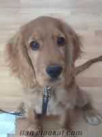 İzmir Çiftleştirme için İngiliz cocker spaniel dişi köpek aranıyor!!!