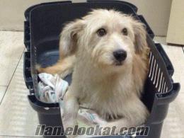 Bir ayağı topal Maltese Terrier yavru dişi