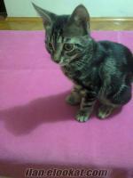 minik kedı yavrusu temiz eğitilmış.