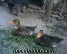 yeşilbaş ördek dişi