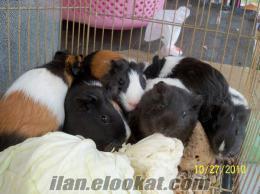 yavru ve anaç guinea pig