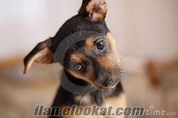 Pincher köpek arıyorum