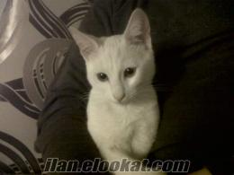 5 Aylık Safkan Kehribar Gözlü Van Kedisi PITIR