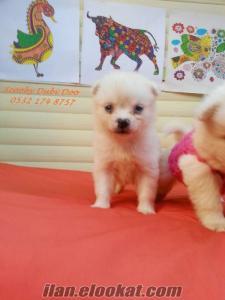 pomeranian boo satılık yavruları