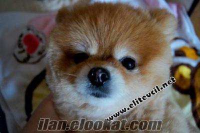 İzmirde veteriner kliniginden Pomeranian Boo Yavrular