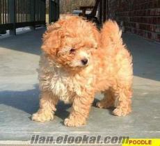 köpek arıyorum !!!!!!!!!!ACİLLL lütfennn eğer gerçekten dost canlısıysanız