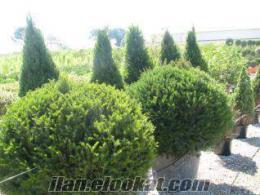 ithal süs bitkileri satılık ağaç türleri kapınıza teslim(bazıları)