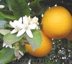 Portakal fidanı 3 TL, mandalina fidanı, limon fidanı, portakal fidanları, Portak