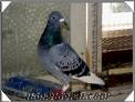 Trabzon Akçaköyde satılık güvercinler