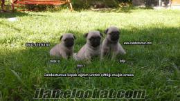 pug yavruları garantili