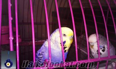 1 çift damızlık ingiliz muhabbet kuşu