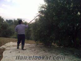 Kemalpaşada zeytin tarlası