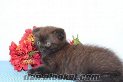 British shorthair&scottish fold yavrular...