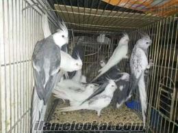 İzmir Bayraklı satılık papağanlar
