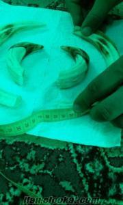 Satılık domuz acısı 26 cm