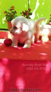white terrier satılık yavruları