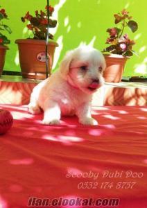 satılık white terrier yavrular