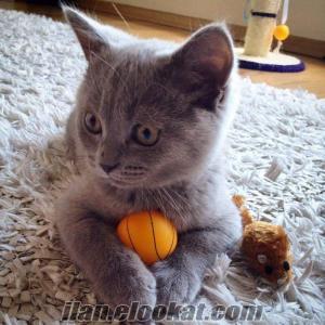 Ankaraya özel yarı fiyatına safkan british shorthair yavruları