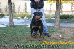 Secereli Rottweiler yavrulari, istanbul