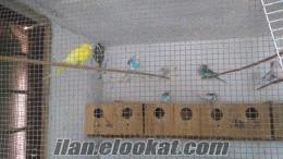 muhabbet kuşu satılık